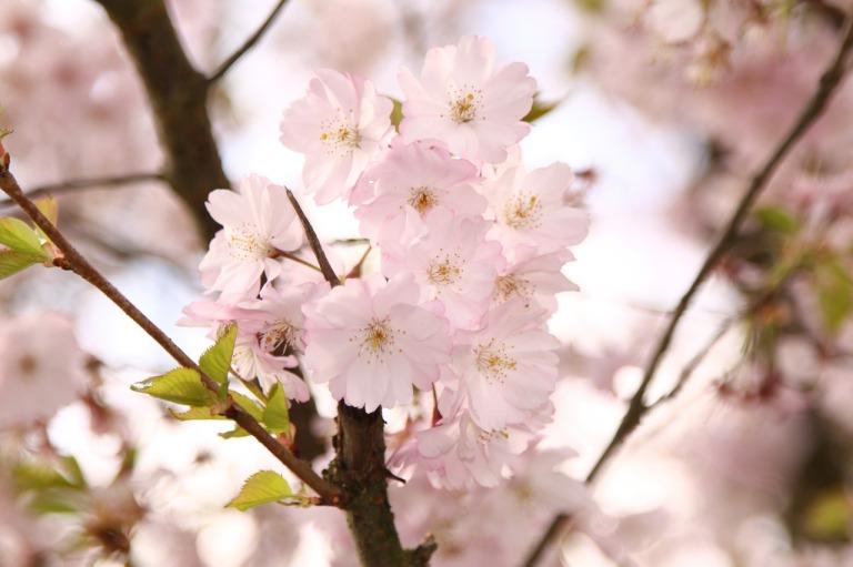 printemps-ceriser-positif