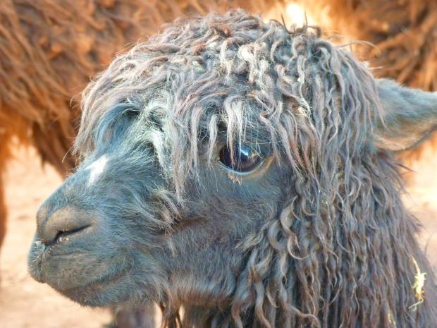 mouton cheveux